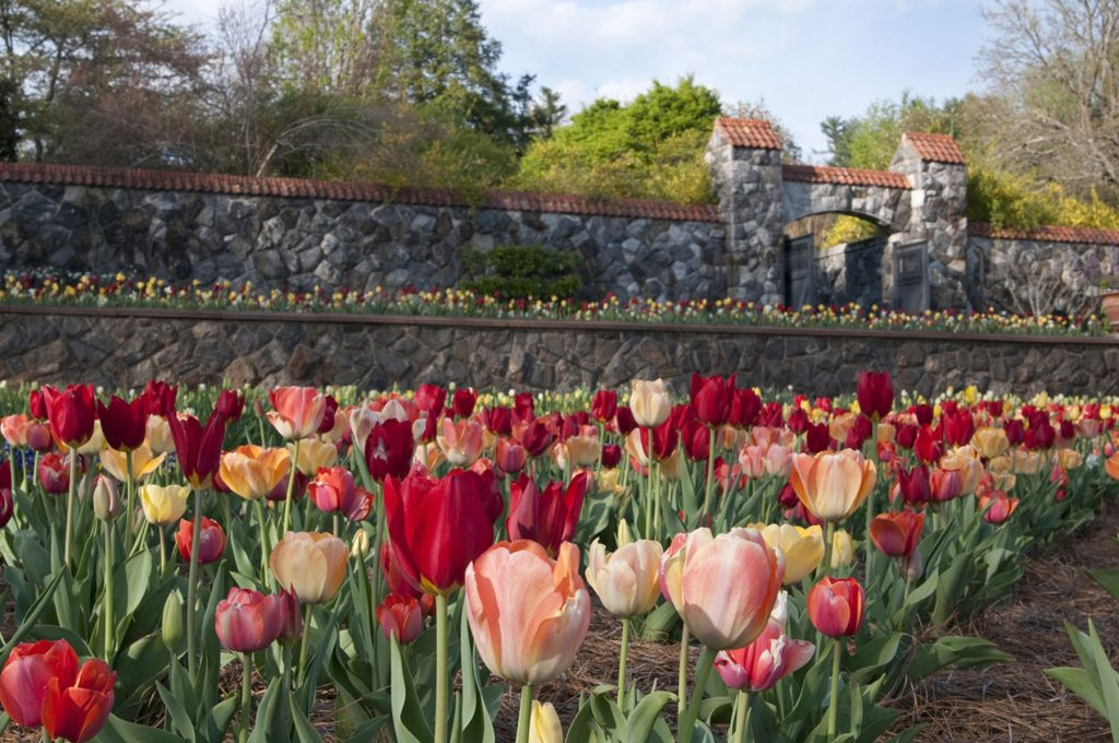 Biltmore Gardens - Red and Pink Tulips